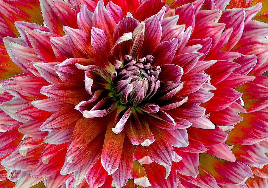 Beautiful Dahlia Photograph