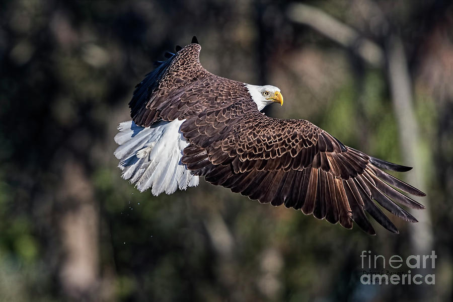 Beautiful Eagle Pose Photograph by Deborah Benoit