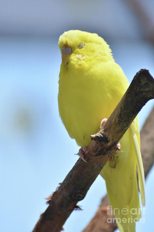 Budgie Photograph - Beautiful Face Of A Yellow Budgie Bird by DejaVu Designs