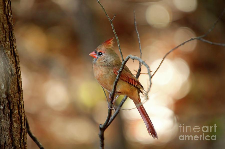 Bokeh Photograph - Beautiful Female Cardinal by Darren Fisher