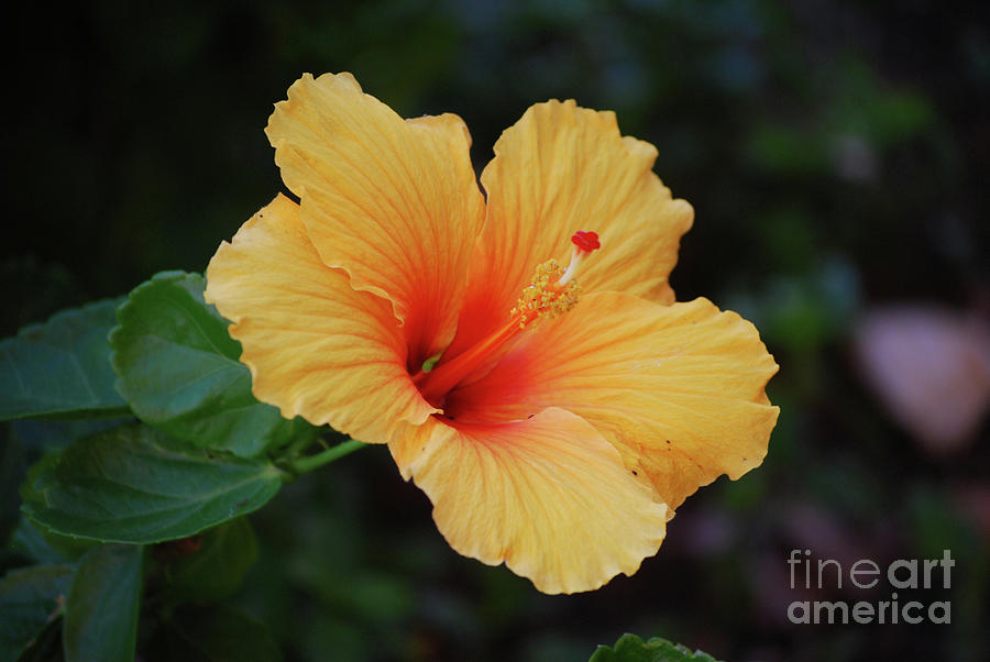 Beautiful Flowering Peach Hibiscus Flower Photograph By Dejavu