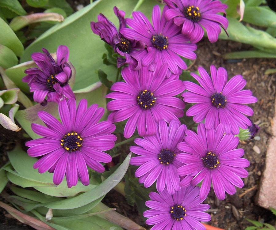 Picture of Live African Daisy aka Osteospermum Purple Plant Fit 1GAL Pot
