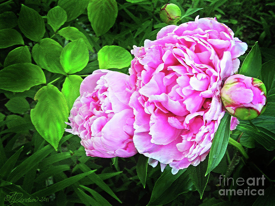Garden Flowers Photograph - Beautiful Garden Peony by Patricia L Davidson