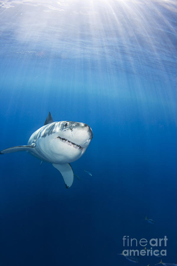 Beautiful Photograph - Beautiful Great White by Dave Fleetham - Printscapes