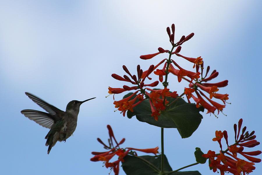 Hummingbird Photograph - Beautiful Hummingbird by Cinneidi Comfort