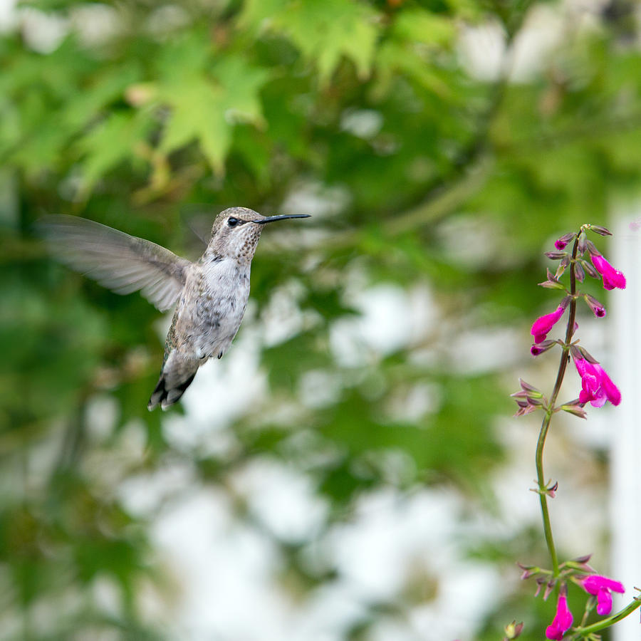 Hummingbird Photograph - Beautiful Hummingbird by Rebecca Cozart
