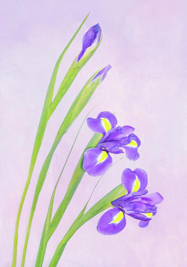 Iris Photograph - Beautiful Iris by Roy McPeak