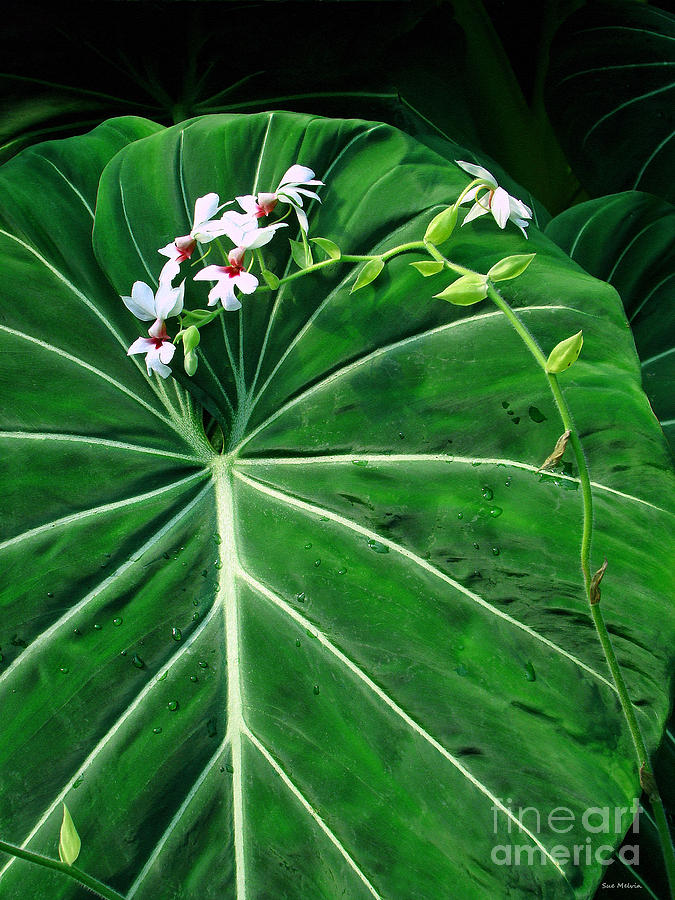 Leaf Photograph - Beautiful Ivory Veins Of A Philodendron by Sue Melvin