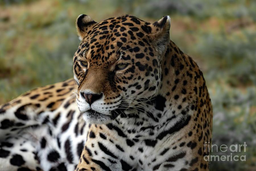 Jaguar Photograph - Beautiful Jaguar Portrait by Sam Rino
