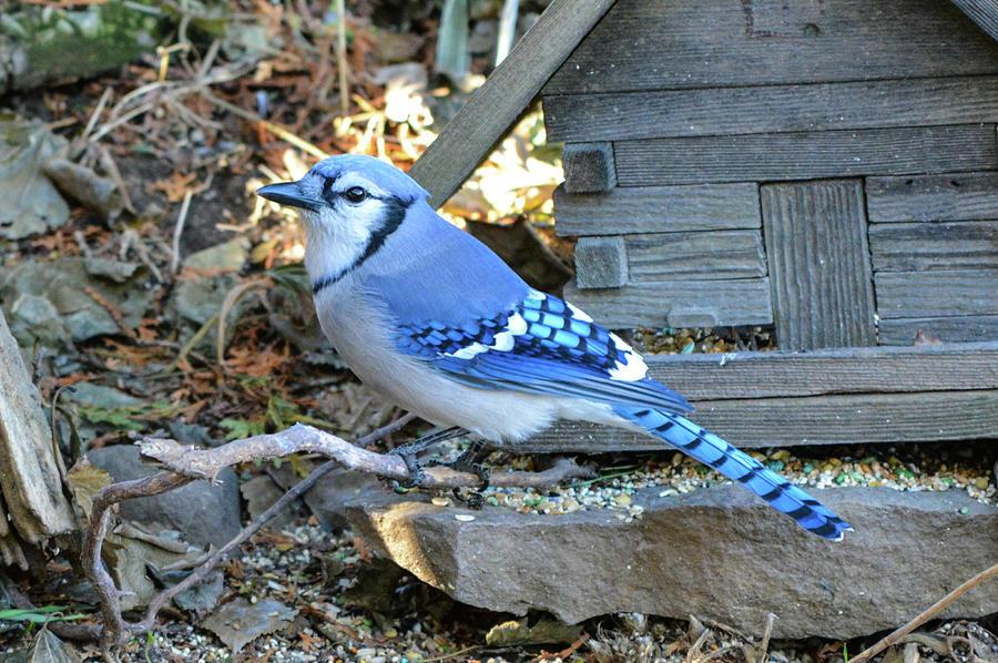 Birds Photograph - Beautiful Jay by Shelley Smith