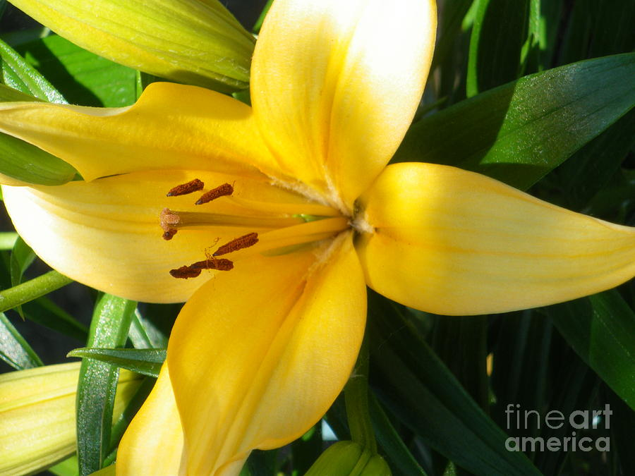 Lily Photograph - Beautiful Lily I by Sonya Chalmers