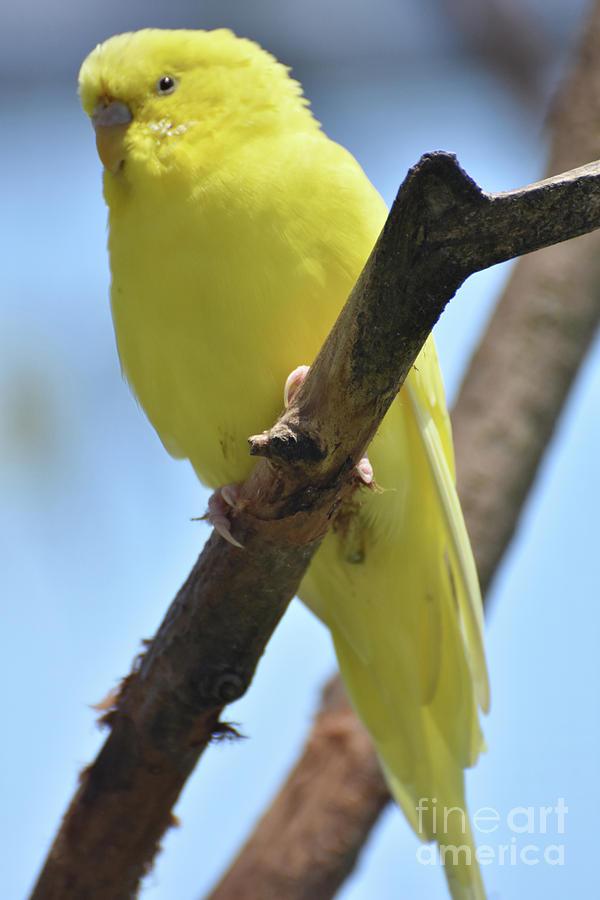 Budgie Photograph - Beautiful Little Yellow Budgie Bird In Nature by DejaVu Designs