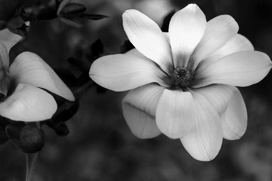 Illinois Photograph - Beautiful Magnolia by Joni Eskridge