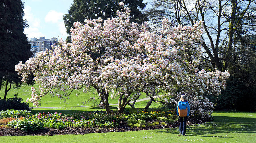 Beautiful Magnolia Tree In Stanley Park Vancouver Photograph
