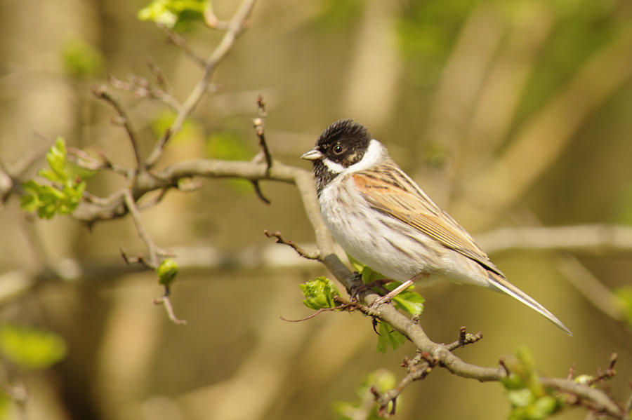 Beautiful Male Reed Bunting by Adrian Wale
