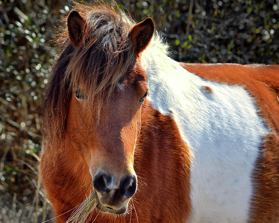 Beautiful Mare Ms. Macky by Assateague Pony Photography