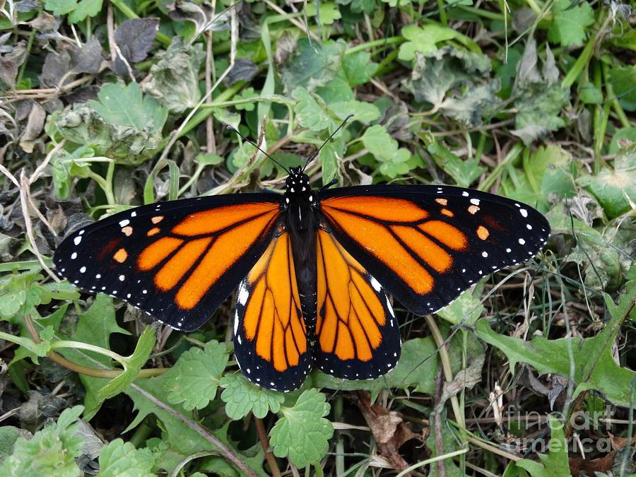 Beautiful Monarch Butterfly Photograph
