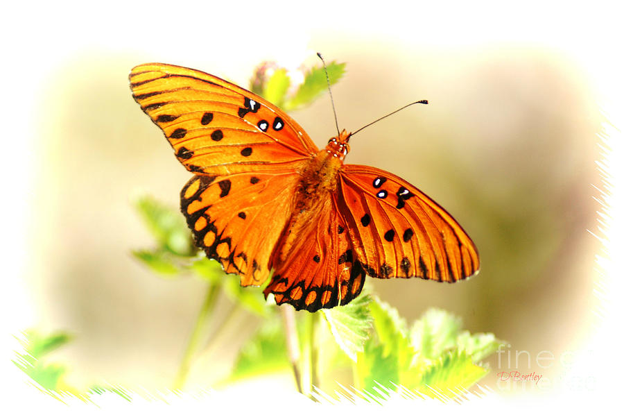 Beautiful Gulf Fritillary by DONNA BENTLEY