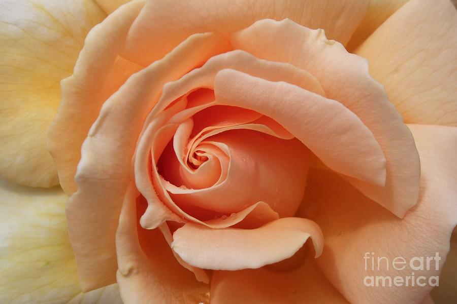 Rose Photograph - Beautiful Peach Rose by Deborah Brewer