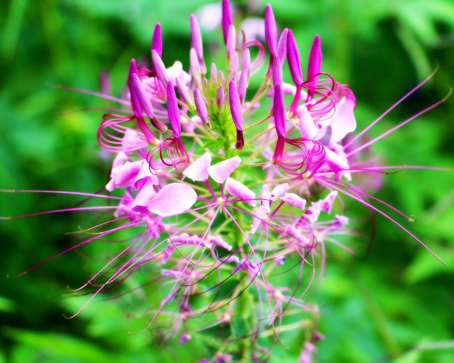 Beautiful pink purple spike flower photograph by kathy m krause leaves photograph beautiful pink purple spike flower by kathy m krause mightylinksfo Image collections