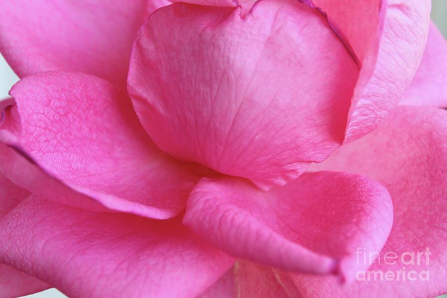 Beautiful Pink Rose Closeup Photograph
