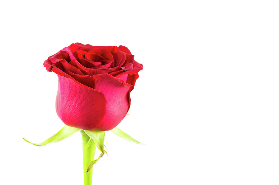 Beautiful Red Rose Flower Isolated On White Background Photograph