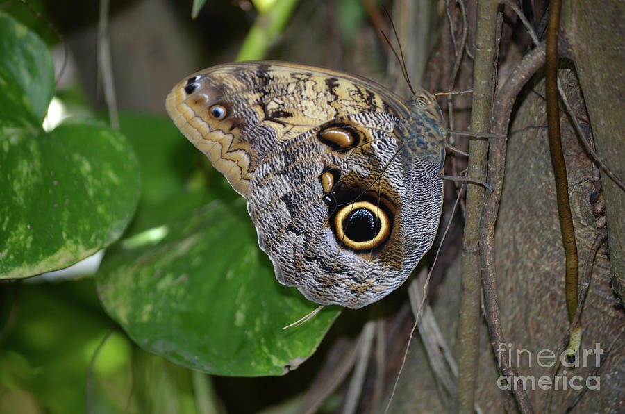 Blue Morpho Photograph - Beautiful Shot Of A Brown Morpho Butterfly Resting  by DejaVu Designs