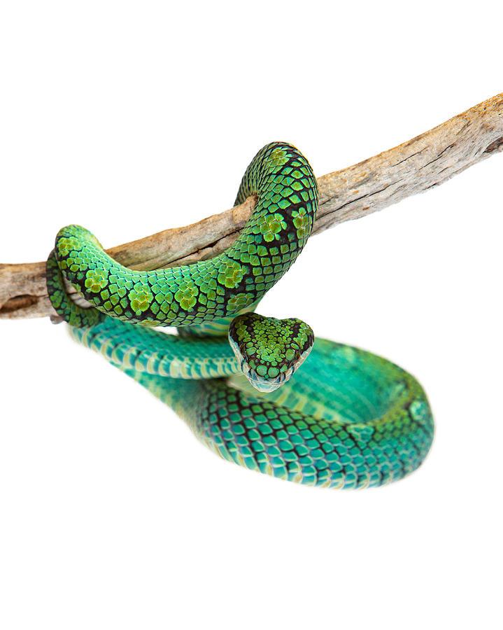 Beautiful Sri Lankan Palm Viper Photograph