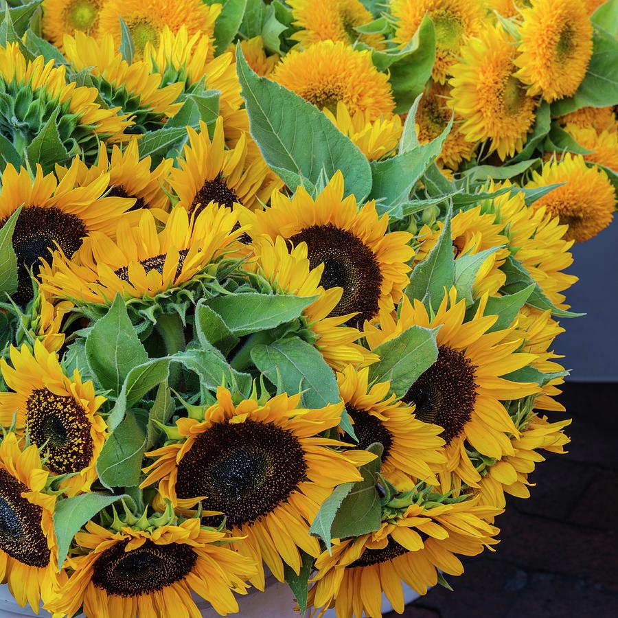 Beautiful sun flowers photograph by vishwanath bhat sunflower photograph beautiful sun flowers by vishwanath bhat izmirmasajfo