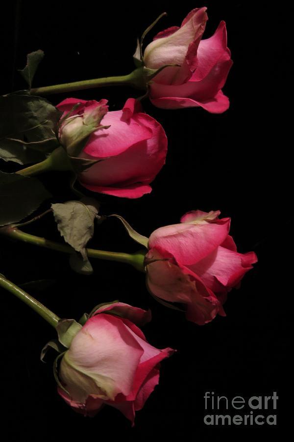 Floral Photograph - Beautiful Two Tone Roses 4 by Tara  Shalton