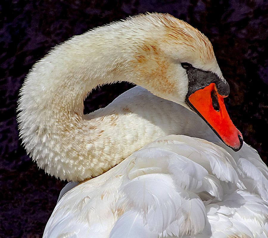 Beautiful White Swan by Bob Slitzan
