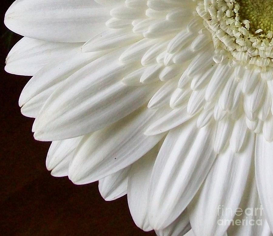 White Gerber Daisy Photograph - Beautiful Whiteness by Marsha Heiken