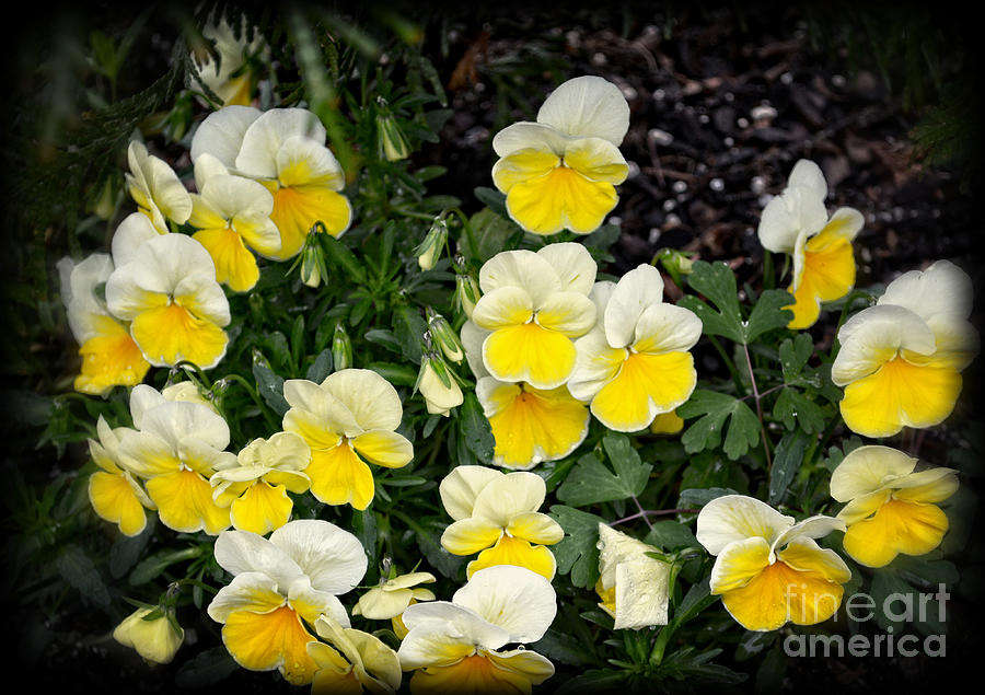 Botanical Photograph - Beautiful Yellow Pansies by Eva Thomas