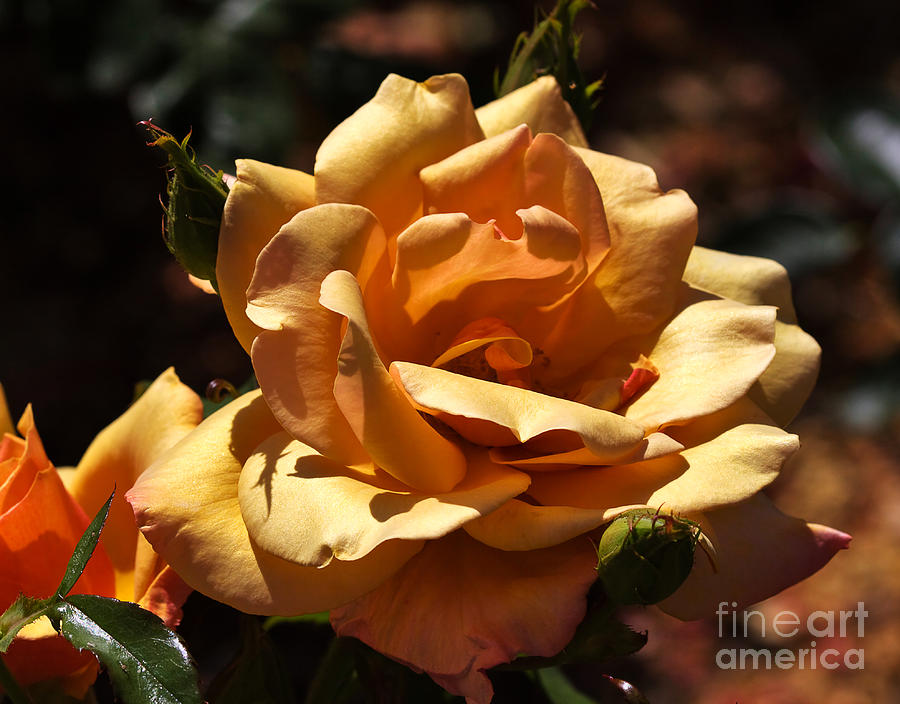 Rose Photograph - Beautiful Yellow Rose Belle Epoque by Louise Heusinkveld