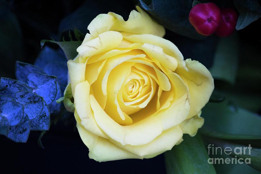 Beautiful Yellow Rose Photograph