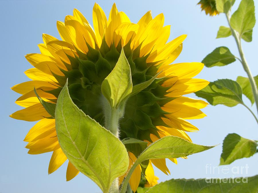 Sunflower Photograph - Beauty However You Look At It by Ann Horn