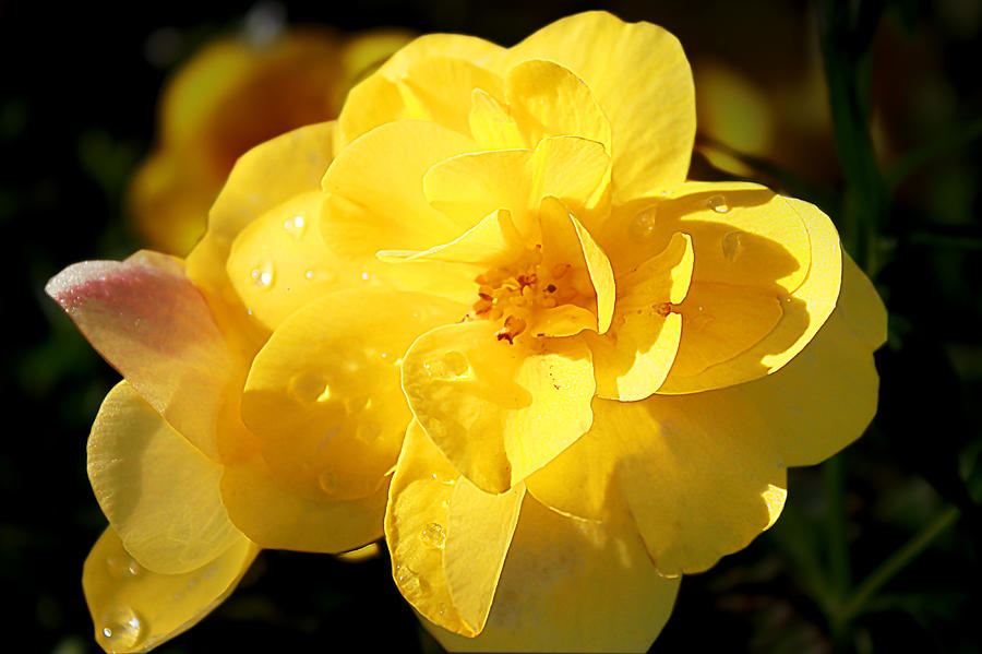 Flower Photograph - Beauty In Yellow by Milena Ilieva