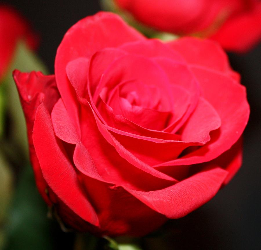Roses Photograph - Beauty Of The Red by Cathie Tyler