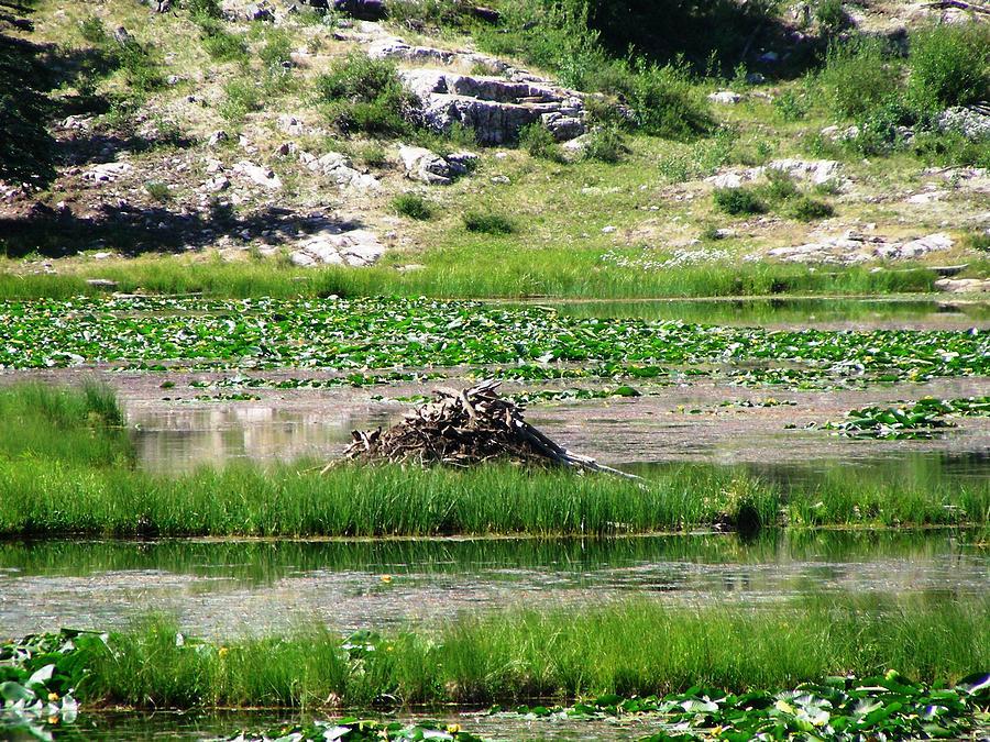 Beaver Photograph - Beaver Dam by Peter  McIntosh