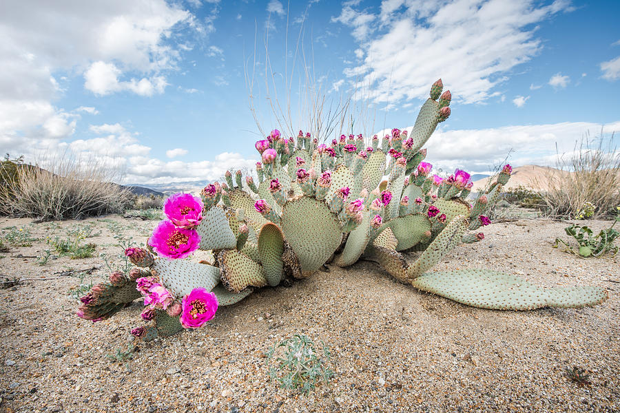 Beavertail Cactus by Shuwen Wu