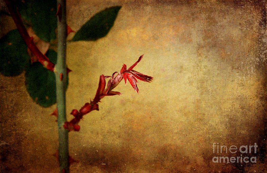 Digital Art Photograph - Becomes The Rose by Ellen Cotton