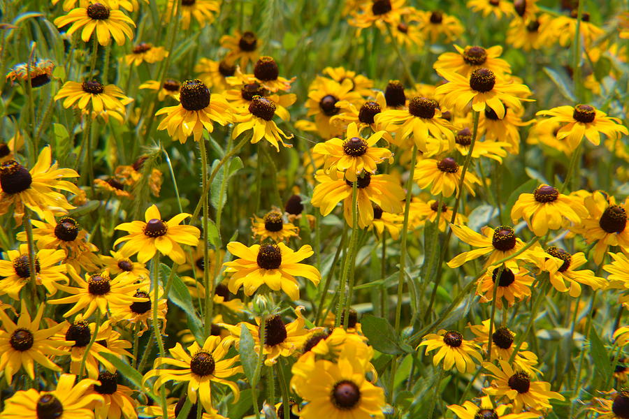 Bed of Black-Eyed Susans by Rebecca Mento