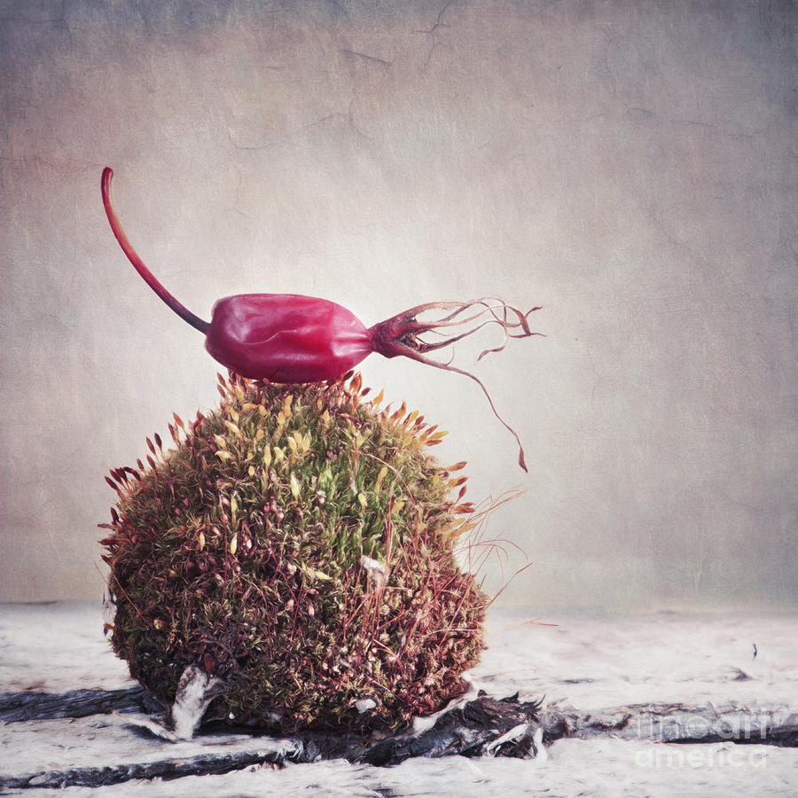 Rose Hip Photograph - Bed Of Moss by Priska Wettstein