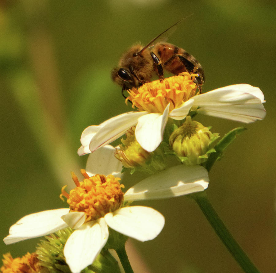 Bee among daisies by Vincent Billotto