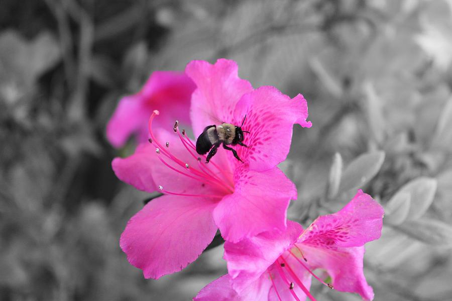 Bee and azalea  by Evelyn Patrick