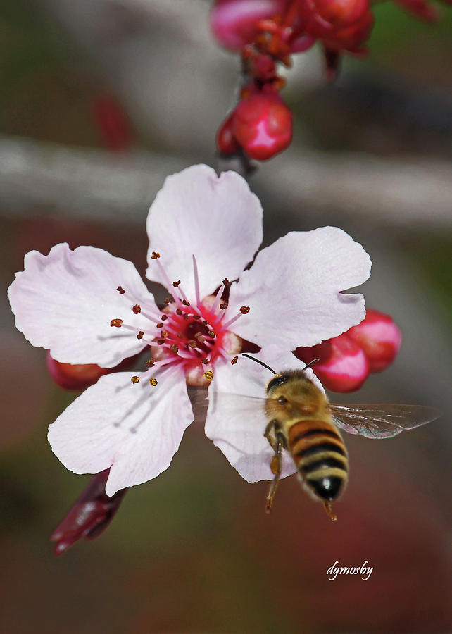 Bee Photograph - Bee And Blossom 9592 by David Mosby