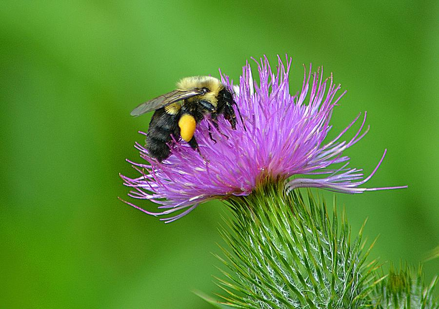 Bee Photograph - Bee And Thistle by Marjorie Tietjen
