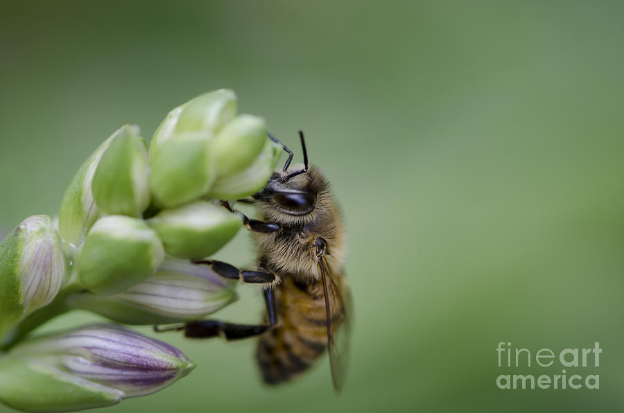 Bee Photograph - Busy Bee by Andrea Silies