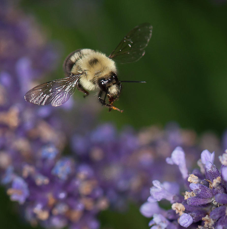 Bee approaches lavender by Len Romanick
