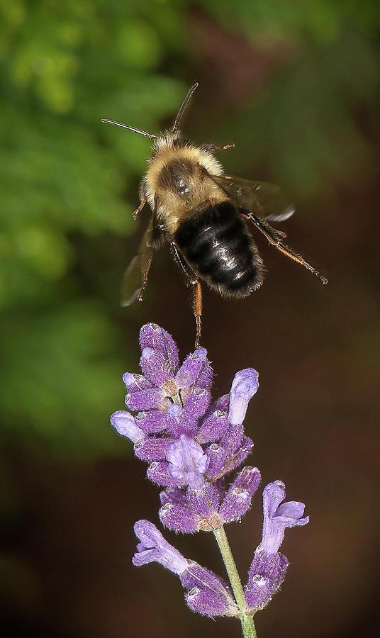 Bee ballet by Len Romanick